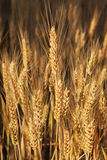 Campo de trigo dourado. Fotos de Stock Royalty Free