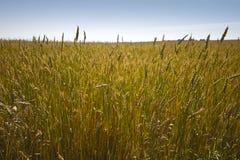 Campo de trigo dourado Imagem de Stock Royalty Free