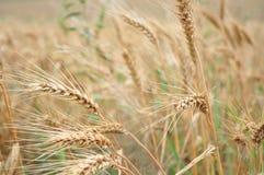 Campo de trigo dourado Fotografia de Stock