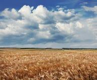 Campo de trigo dourado Imagem de Stock