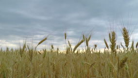 Campo de trigo dourado video estoque