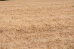 Campo de trigo dourado imagens de stock royalty free