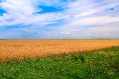 Campo de trigo dourado Imagens de Stock