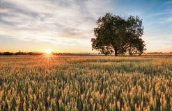 Campo de trigo dourado com a árvore no por do sol Foto de Stock Royalty Free
