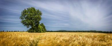 Campo de trigo dourado com árvore verde e o céu nebuloso azul Imagens de Stock Royalty Free
