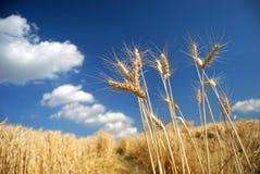 Campo de trigo dourado com céu azul fotografia de stock royalty free