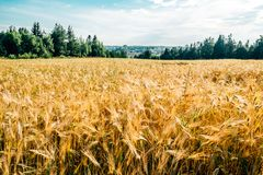 Campo de trigo dourado com floresta verde imagens de stock royalty free