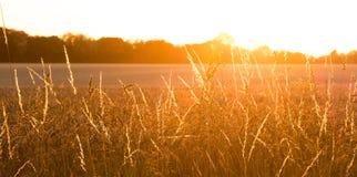 Campo de trigo dourado com panorama dos raios de sol Imagem de Stock