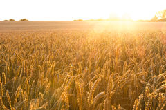 Campo de trigo dourado com raios de sol Imagem de Stock Royalty Free
