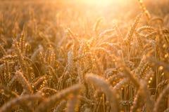 Campo de trigo dourado com raios de sol Fotos de Stock