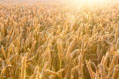 Campo de trigo dourado com raios de sol Fotos de Stock Royalty Free
