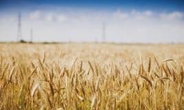 Campo de trigo dourado de encontro ao céu azul Imagens de Stock