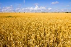 Campo de trigo dourado e céu azul. Fotografia de Stock Royalty Free