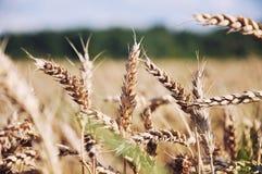 Campo de trigo dourado e céu azul Imagem de Stock