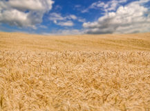 Campo de trigo dourado e céu azul na distância Imagens de Stock