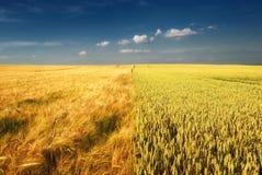Campo de trigo dourado e céu nebuloso imagem de stock royalty free