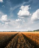 Campo de trigo dourado maduro contra o fundo do céu azul imagens de stock royalty free