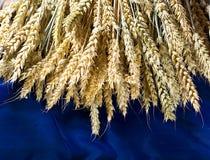 Campo de trigo dourado no fundo azul Fotografia de Stock Royalty Free