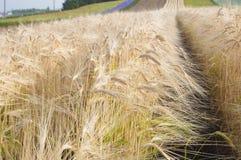 Campo de trigo dourado no Hokkaido Imagens de Stock