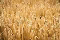 Campo de trigo dourado para a estação da colheita Fotos de Stock