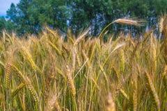 Campo de trigo dourado que cresce acima sob o céu azul imagem de stock