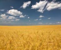 Campo de trigo dourado sob nuvens Fotografia de Stock