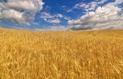 Campo de trigo dourado sob o céu azul e as nuvens Fotografia de Stock