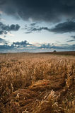 Campo de trigo dourado sob o céu tormentoso dramático Imagem de Stock