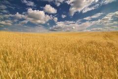Campo de trigo dourado sob a obscuridade - céu azul Imagens de Stock Royalty Free