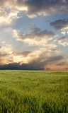 Campo de trigo durante día tempestuoso Imagen de archivo