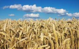 Campo de trigo e céu azul Fotografia de Stock