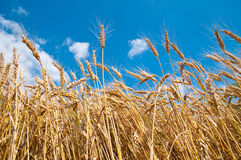 Campo de trigo e céu azul fotografia de stock royalty free