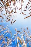 Campo de trigo e céu azul imagem de stock royalty free