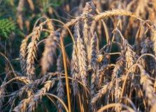 Campo de trigo e céu azul Fotos de Stock Royalty Free