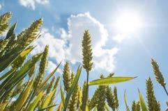Campo de trigo e céu azul com nuvens Fotos de Stock Royalty Free