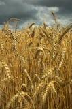 Campo de trigo e céu escuro foto de stock royalty free