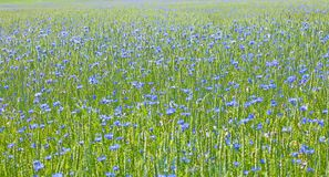 Campo de trigo e de centáureas Imagem de Stock
