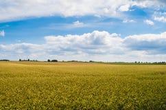 Campo de trigo e do céu azul Fotografia de Stock