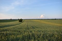Campo de trigo e do céu azul Foto de Stock