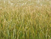 Campo de trigo, el maíz que crece maduro en julio imagen de archivo