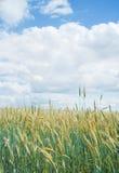 Campo de trigo em junho foto de stock