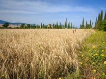 Campo de trigo em Toscânia, Itália logo a ser colhido fotografia de stock