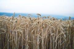 Campo de trigo em um dia de verão Fundo natural tempo ensolarado Cena rural e luz solar de brilho agricultural Imagem de Stock