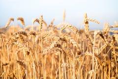 Campo de trigo em um dia de verão Fundo natural tempo ensolarado Cena rural e luz solar de brilho agricultural Imagens de Stock Royalty Free