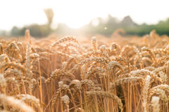 Campo de trigo em um dia de verão Fundo natural tempo ensolarado Cena rural e luz solar de brilho agricultural Foto de Stock