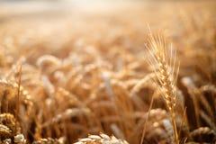 Campo de trigo em um dia de verão Fundo natural tempo ensolarado Cena rural e luz solar de brilho agricultural Imagens de Stock