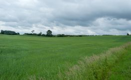 Campo de trigo em um dia nublado Imagem de Stock