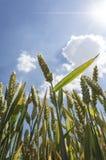 Campo de trigo em um dia de verão agradável Fotos de Stock