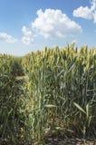 Campo de trigo em um dia de verão agradável Fotografia de Stock
