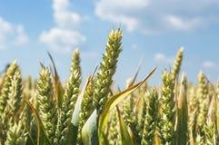 Campo de trigo em um dia de verão agradável Imagem de Stock Royalty Free